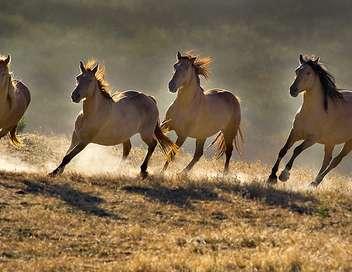 Les chevaux sauvages des montagnes rocheuses canadiennes