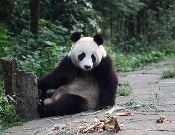 Les pandas en transit