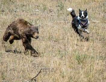 Les chiens traqueurs d'ours du Nevada