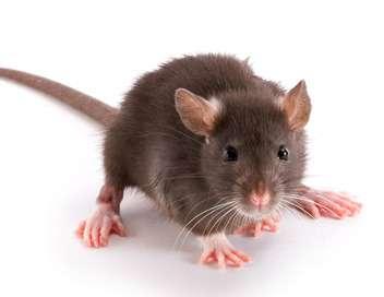 Xenius Les rats : pourquoi tant de haine ?