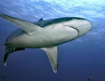 Les requins du Coral Canyon