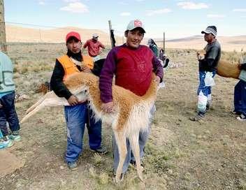 Pérou, une laine qui vaut de l'or