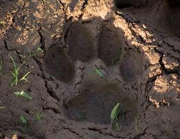 En quête du jaguar