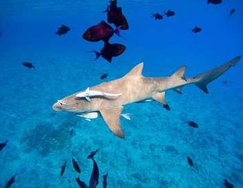 Moorea : l'île aux requins-citrons