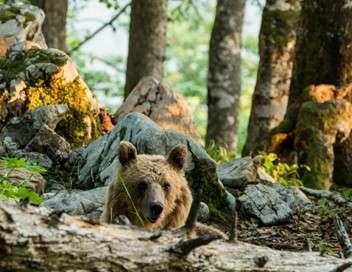 Slovénie, terre des ours