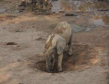 L'éléphant de forêt après l'Éden