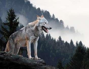 L'odyssée du loup