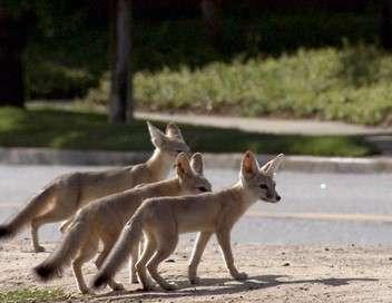 Quand les animaux sauvages emménagent en ville