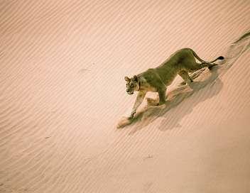 Lions de Namibie, les rois du désert Les rois du désert