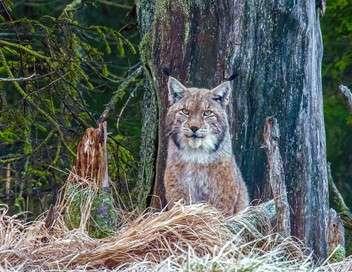 La forêt des félins : chats sauvages et lynx du Harz