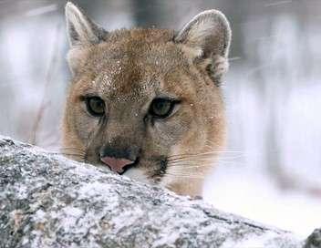 Puma, le fantôme du Gévaudan