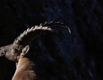 Ibex, dans les pas du bouquetin