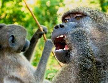 Babouins : presque trop humains