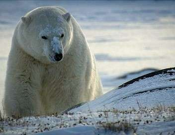 Churchill, la capitale des ours polaires  l'été