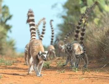 Madagascar : les gangs de lémuriens