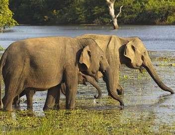 Sur les pistes des éléphants sauvages du Sri Lanka