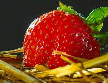 Xenius La fraise, star des beaux jours