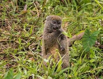 Le lémurien après l'éden