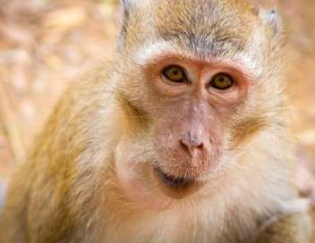 Une saison chez les macaques