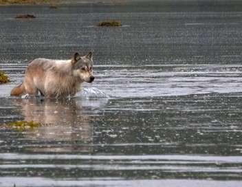 Les loups pêcheurs du Canada