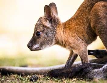 Le roi kangourou