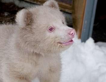 Poivre & Sel : deux oursons en Arctique
