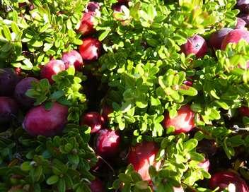 Cap Cod, le temps des cranberries
