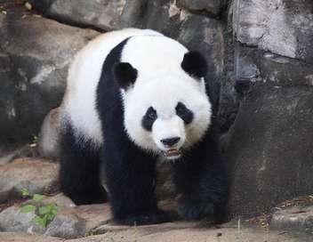 C'est pas sorcier Pandas, des géants superstars