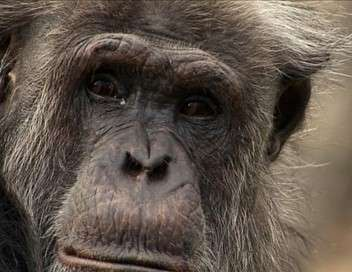 Une vie de chimp'