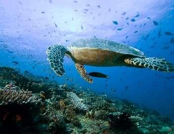 Allez savoir... en Martinique les tortues se cachent pour grandir