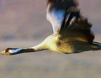 À tire d'aile : les oiseaux migrateurs