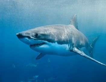 Requins en Amérique : un danger pour l'homme