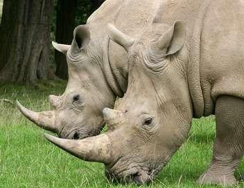 Les cornes de rhinocéros
