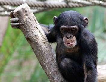 Et le singe inventa la culture