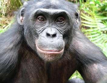 Au pays des bonobos