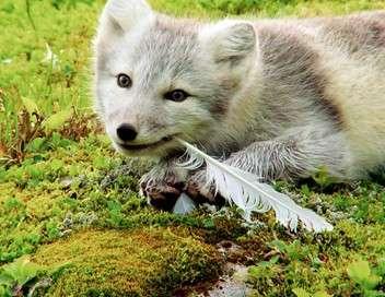 Islande : l'été des renards polaires