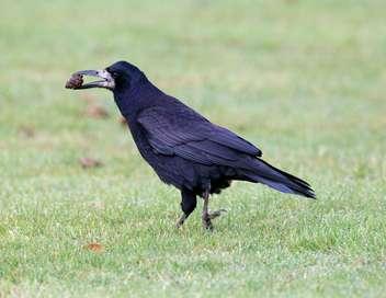 Xenius Le corbeau freux, mal-aimé et pourtant si rusé