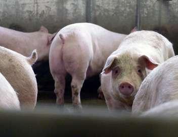 Le vrai coût de la viande pas chère, pauvre cochon, riche affaire