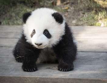 L'extraordinaire naissance du 1er bébé panda de France