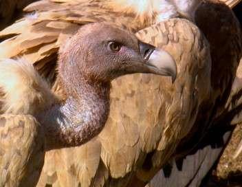 Les vautours sont de retour