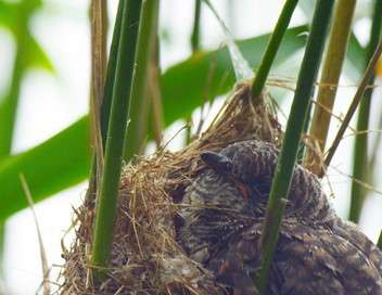 Coucous & co., dans le nid d'un autre Dans le nid d'un autre
