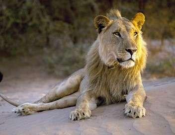 Lions de Namibie, un nouveau départ Un nouveau départ