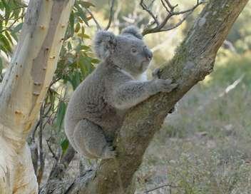 La vie secrète du koala Une vie dans les arbres