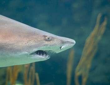 Petit dauphin et grands requins