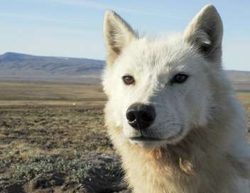 Le loup arctique La meute, c'est sacré