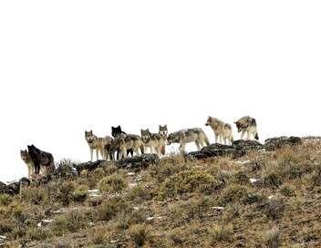 Le retour des loups, une chance pour le parc de Yellowstone