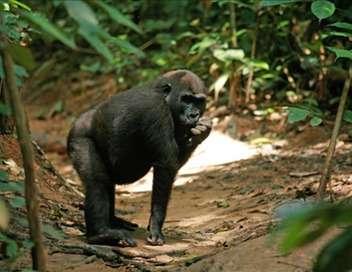 À la découverte des gorilles des forêts vierges