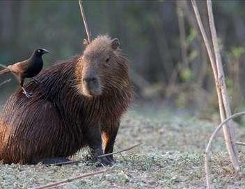 Brésil : Terre de Richesses L'étang des Capybaras